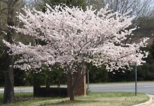 1 Yoshino Flowering Cherry Tree