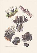 Vielgestaltige Holzkeule Xylaria polymorpha Farbdruck von 1965 Mykologie Pilze