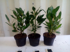 3 x Quality Bay Laurel Laurus Nobilis Aromatic Leaves Evergreen Tree/Kitchen Bay