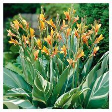 Plantes Canna Stuttgart pot 1 litre
