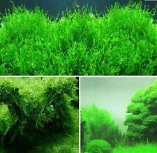 schnellwachsende Aquariumpflanzen gegen Algen im Aquarium Quellmoos