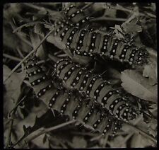 Glass Magic Lantern Slide EMPEROR MOTHS LARVA C1910 PHOTO INSECTS