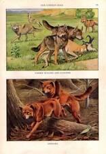 Impresión De Perro 1927 original vintage por Louis Agassiz Fuertes LOBOS COYOTES dingos