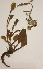 Raublattgewächse, Heilpflanzen, (Boraginaceae), für Herbarium