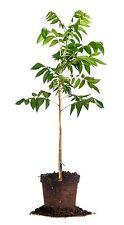 Amling Pecan Tree, Live Plant, Size: 5 Gallon