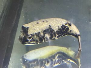 LIVE TROPICAL Fish~ MBU Puffer Fish Tetraodon mbu 5.5 Inches
