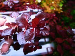 PIANTA PIANTE ACQUARIO LUDWIGIA MINI SP. SUPER RED LIVE AQUARIUM PLANT