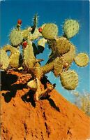 Old Chrome Postcard Arizona I006 Prickly Pear Cactus Blooms Sonoran Desert Flora