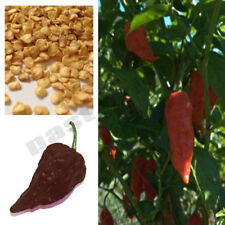 Chocolate Bhut Jolokia Hot Ghost Chilli Pepper 10 Seeds