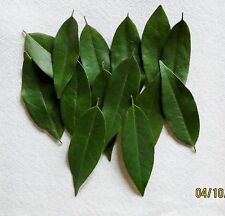 CALIFORNIA BAY LEAVES WILD HARVEST FRESH PICKED (40) LEAVES not Laurus nobilis