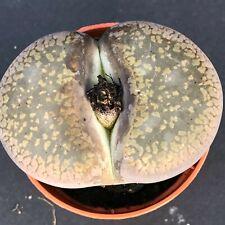 1760. Lithops comptonii v.comptonii COLE125 Sämling/seedling
