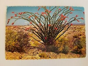 OCOTILLO BLOOMS Buggy Whipped ARIZONA AZ Scalloped Postcard Stamped 5/1/1972 .08