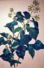 GOUACHE sur papier BRANCHE de LIERRE original mi XXè 38x25 cm