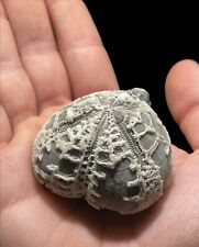More details for stunning large micraster echinoid fossil from kent, england