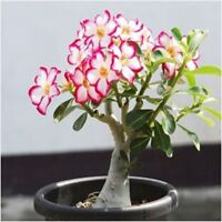 1 Pcs Desert Rose Seeds Flower Adenium obesum Office Indoor Bonsai plant Mini