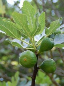 ☆ 5 boutures bio figuier cosquerou figue verte très sucrée jardin permaculture