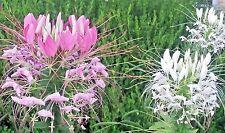 CLEOME (Spider Flower)-- 124+ seeds. Organic mix Pink, Purple & White. Dazzling!