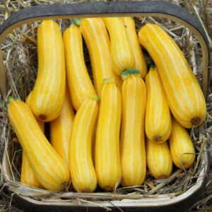NEW GOLDEN COURGETTE SUNSTRIPE F1 AMAZING COLOUR AND TASTE HUGE CROPS 10 SEEDS