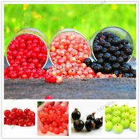 Currant Fruit Panamerican Seeds Plants Gooseberry Flores Red 106pcs/pack