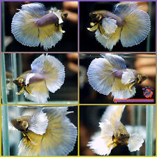 Live Betta Fish Male Violet Mustard Dumbo Big Ears Halfmoon #854