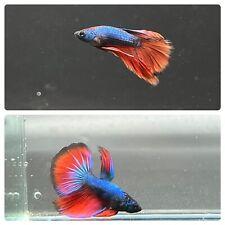 (2) Two Live Betta Fish Juvenile BLUE RED Halfmoon HM Male