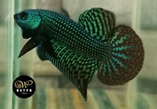 LIVE BETTA FISH BREEDING PAIR GREEN EMERALD HYBRID ALIEN WILD TYPE (WT67)