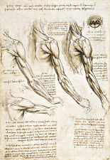 Superficial Muscles  Upper Extremity Oral Cavity  Leonardo da Vinci Poster Print