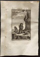 1799 - Buffon - Jeunes aïs (Paresseux) - Gravure zoologie