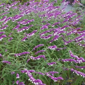Mexican Bush Sage -Salvia leucantha Plant in 1 L Pot