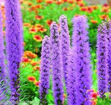 500 Liatris spicata Seeds Purple Blazing Star Gayfeather Flower Perennial CombSH