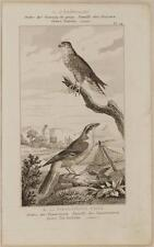 BUFFON OISEAU BIRD SMERIGLIO AVERLA MAGGIORE MERLIN GREAT GREY SHRIKE EMERILLON