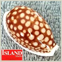 BIG GEM! Cypraea Cribraria #18 35.9mm GORGEOUS BEAUTY from the Philippines