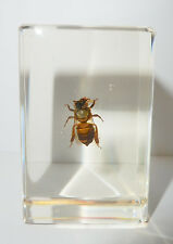 Honey Bee Apis mellifera in Clear Paperweight Education Insect Specimen