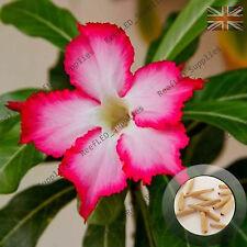 """""""Harry. P"""" Adenium Obesum Desert Rose 5 Seeds, Fresh Viable, UK Supply"""