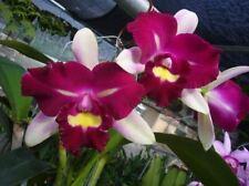 Bin-Blc. Chyong Guu Linnet 'Smile' Am/Aos Beautiful Tri-Color-Fragrant Cattleya