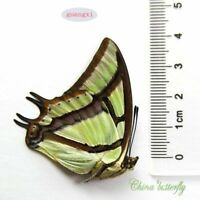 * ABERRATION * speical unmounted butterfly Nymphalidae Polyura narcaea #301