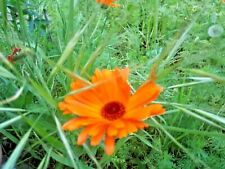 CALENDULA OFFICINALIS ou Souci lot 100 Graines-Seeds BIO King Marigold Seeds