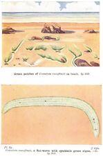 SEA WATER. Green patches Convoluta roscoffensis beach; flat- worm algae 1936