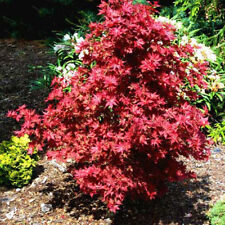 Rare 'Ruby Stars' Japanese Maple Tree Seeds. Acer palmatum. 25 Seeds.
