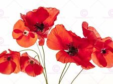 PHOTOGRAPH NATURE FLOWER POPPY HEADS RED PETALS PICTURE ART PRINT POSTER MP5633A