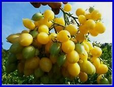 Barry's Crazy Cherry Tomato Seeds - Massive Clusters Comb. S/H See our store!