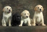 Togetherness Labrador Retriever Puppies Photo Art Print Poster 24x36 inch