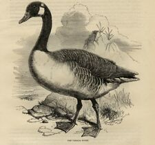 Stampa Antica 1869 = OCA= Uccelli = Ornitologia = CANADA GOOSE Bird Old Print