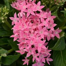 Pentas Lucky Star Pink (5) Live Plants Plugs Garden Home Patio Planters
