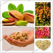Pistacia lentiscus 50 semi di pistacchio ornamentali 90063 BONSAI