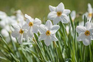 Narcissus Pheasant Eye - 15 large bulbs size 14+