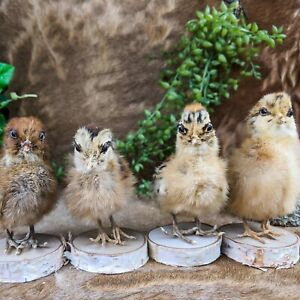 H33b 1 TAXIDERMY Domestic (NAT Death) BABY Chick Chicken Wood Base Adorable!
