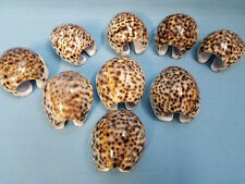 9 Tiger Cowrie Seashells Sea Shell Arts Crafts Jewelry Classroom Study Nature