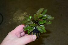 Cryptocoryne beckettii - Foreground Aquatic Plant