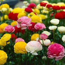 100 Ranunculus (Persian Buttercup) Mixed spring Flowering bulbs